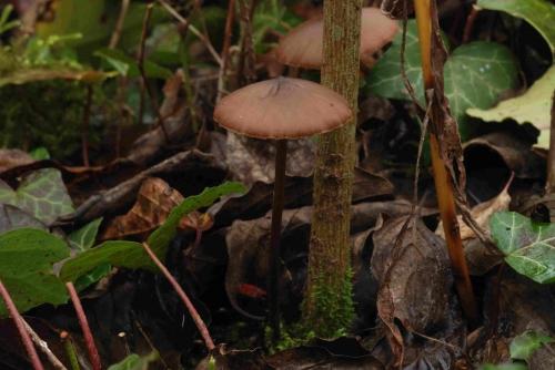 Entoloma papillatum à vérifier, Montreuil, Parcelle 343, 17 novembre 2012, DSC_0698.jpg
