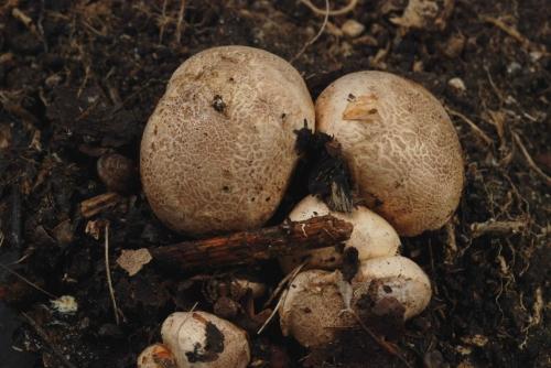 Scleroderma areolatum parcelle 343, 9 septembre 2013, DSC_0324.jpg
